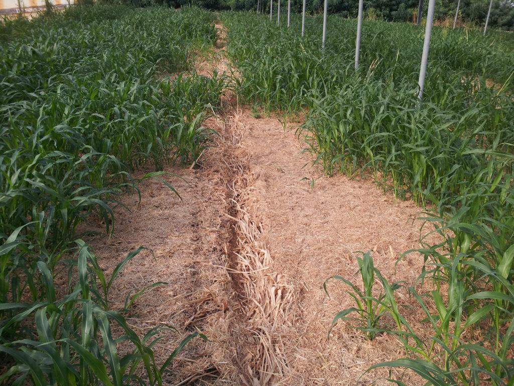 Accrescimento del Secondo taglio di Sorgo: i residui del primo taglio costituiscono una pacciamatura vegetale