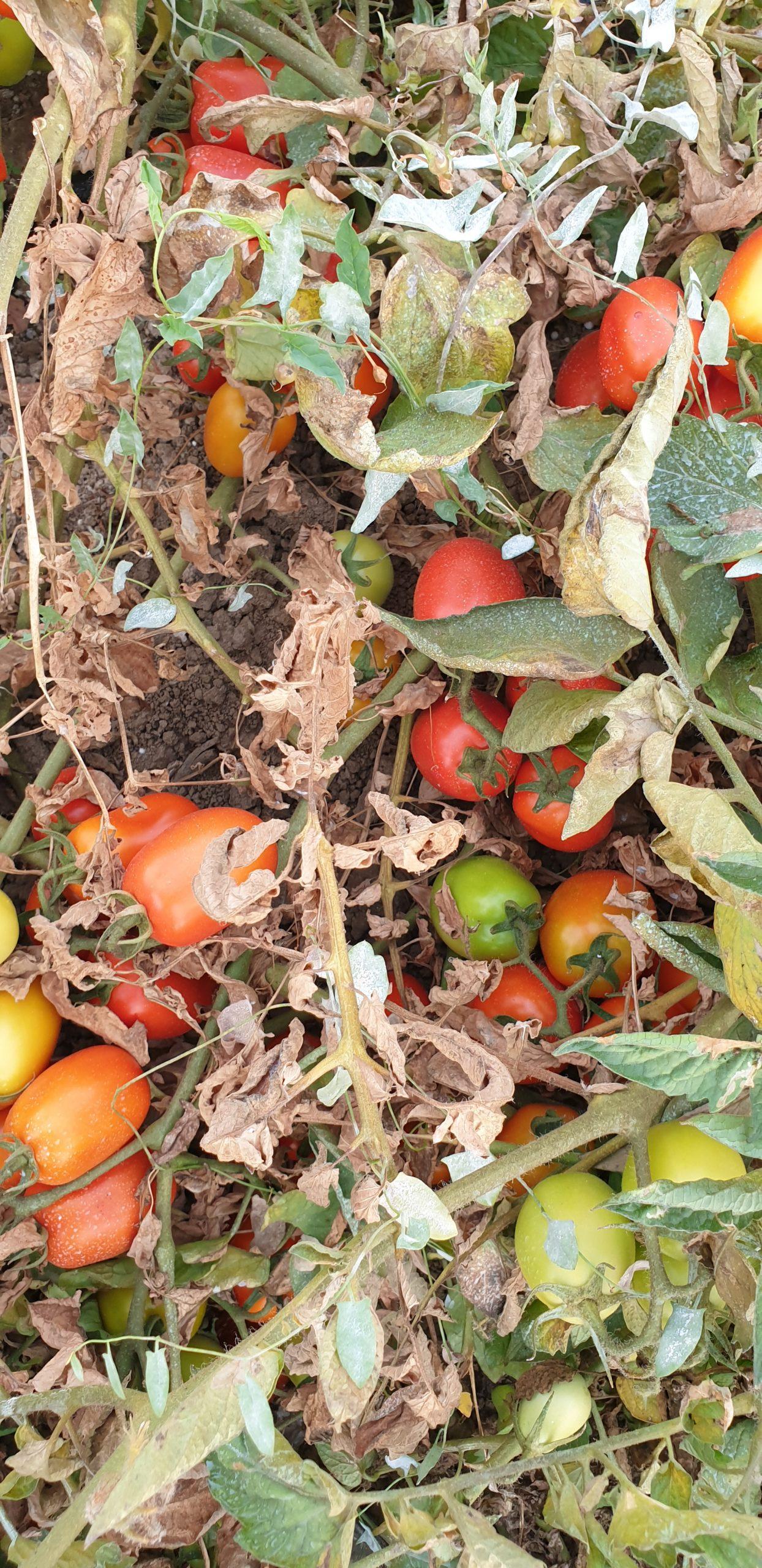 Pianta di pomodoro attaccata dall'Eriofide rugginoso